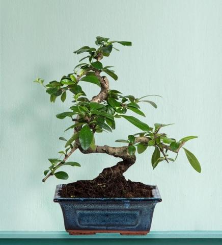 Zelkova Bonsai 25cm
