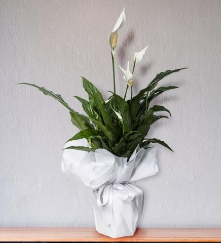 Beyaz Spatifilyum (Barış Çiçeği) Saksıda Canlı Bitki
